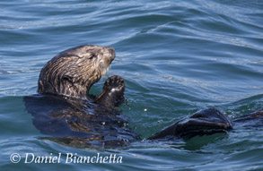 Southern Sea Otter, photo by Daniel Bianchetta