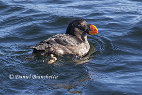 Tufted Puffin, photo by Daniel Bianchetta