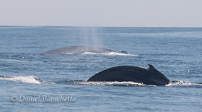 Two Blue Whales, photo by Daniel Bianchetta