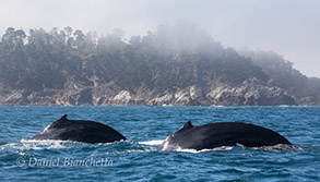 2 Humpback Whales by Pt. Lobos, photo by Daniel Bianchetta