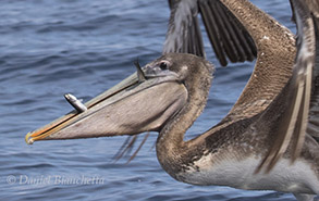 California Brown Pelican with Anchovies, photo by Daniel Bianchetta