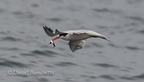 Caspian Tern with an Anchovy, photo by Daniel Bianchetta