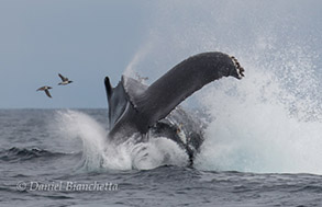 Humpback Whale tail throwing with 2 common murres, photo by Daniel Bianchetta