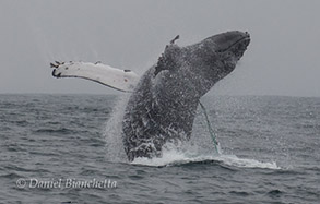 Breaching Humpback Whale with entanglement line, photo by Daniel Bianchetta