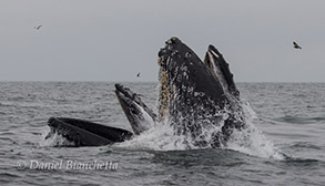 Humpback Whales lunge-feeding, photo by Daniel Bianchetta
