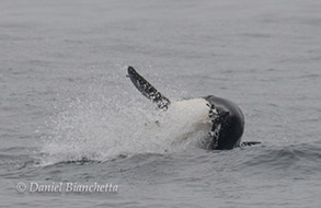 Killer Whale taking a Common Murre, photo by Daniel Bianchetta