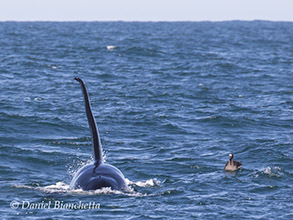 Male Killer Whale and Black-footed Albatross, photo by Daniel Bianchetta