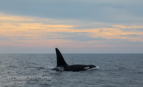Male Killer Whale Lonesome George, photo by Daniel Bianchetta