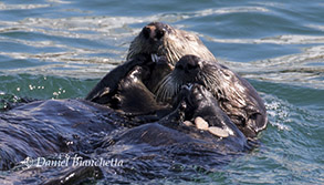 Southern Sea Otter mother and pup eating sand dollars, photo by Daniel Bianchetta