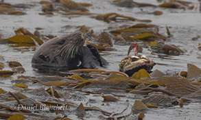 Southern Sea Otter eating a Dungeness Crab, photo by Daniel Bianchetta