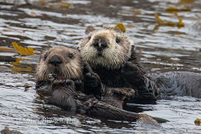 Southern Sea Otter mother and older pup, photo by Daniel Bianchetta