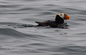 Tufted Puffin close-up, photo by Daniel Bianchetta