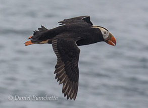 Tufted Puffin in Breeding Plumage, photo by Daniel Bianchetta