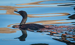 Brandt's Cormorant, photo by Daniel Bianchetta
