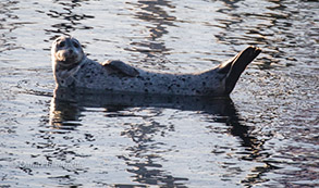 Harbor Seal, photo by Daniel Bianchetta