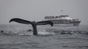 Humpback Whale by the Blackfin, photo by Daniel Bianchetta