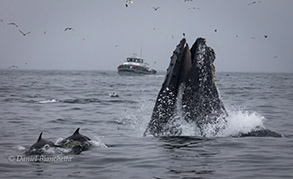 Lunge feeding Humpback Whale, Common Dolphins with Sea Wolf II, photo by Daniel Bianchetta