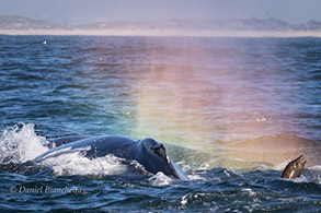 Humpback Whale with rainblow and California Sea Lion, photo by Daniel Bianchetta
