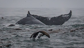 Humpback Whales and Sea Lions, photo by Daniel Bianchetta