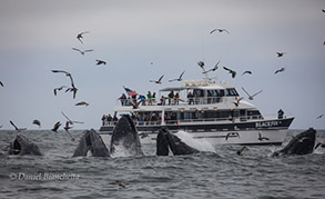 Humpback Whales lunge-feeding by the Blackfin, photo by Daniel Bianchetta