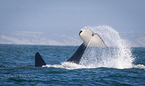 Killer Whale (Fat Fin) tail throwing, photo by Daniel Bianchetta