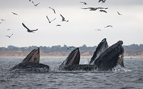 Lunge feeding Humpback Whales, photo by Daniel Bianchetta