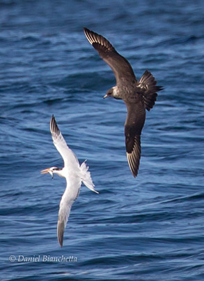 Elegant Tern with Anchovy, being chased by Parasitic Jaeger, photo by Daniel Bianchetta