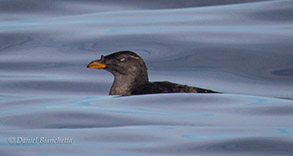Rhinoceros Auklet, photo by Daniel Bianchetta