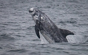 Risso's Dolphin, photo by Daniel Bianchetta