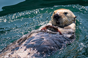 Southern Sea Otter eating a crab, photo by Daniel Bianchetta