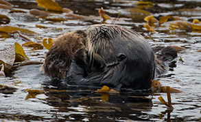 Southern Sea Otters mother and young pup, photo by Daniel Bianchetta