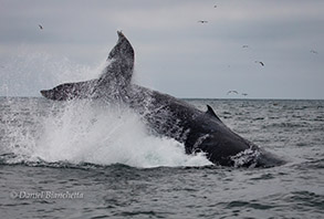 Tail-throwing Humpback Whale, photo by Daniel Bianchetta