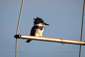 Belted Kingfisher, photo by Daniel Bianchetta