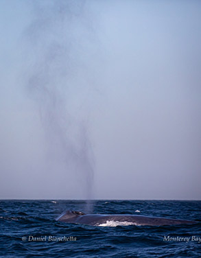 Blue Whale with 30-foot blow, photo by Daniel Bianchetta