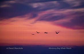 Brown Pelicans at sunset, photo by Daniel Bianchetta