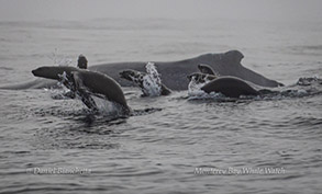 California Sea Lions and Humpback Whale, photo by Daniel Bianchetta