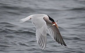 Elegant Tern with anchovy, photo by Daniel Bianchetta