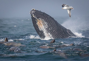Humpback Whale with California Sea Lions, photo by Daniel Bianchetta