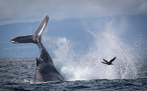 Humpback Whale tail throwing and a Brandt's Cormorant, photo by Daniel Bianchetta