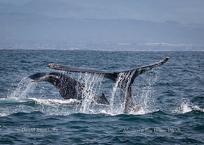 Humpback Whales - mother and female calf, photo by Daniel Bianchetta