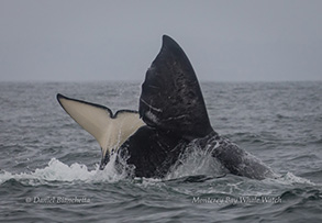 Killer Whale and Gray Whale, photo by Daniel Bianchetta