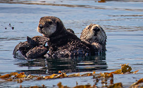 Mother and pup Southern Sea Otters, photo by Daniel Bianchetta