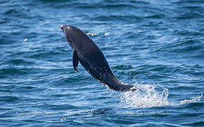 Northern Right-whale Dolphin calf, photo by Daniel Bianchetta