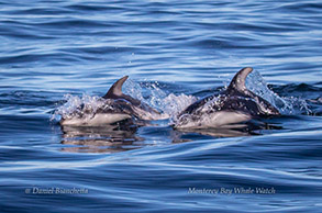 Pacific White-sided Dolphins, photo by Daniel Bianchetta