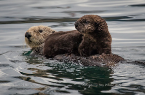 Southern Sea Otters - mom and pup, photo by Daniel Bianchetta