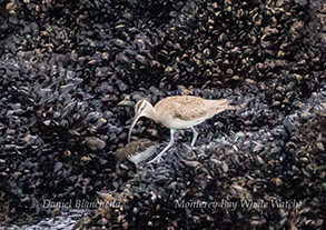 Whimbrel and Black Turnstone, photo by Daniel Bianchetta