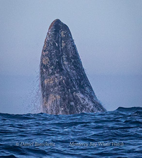 Breaching Gray Whale, photo by Daniel Bianchetta