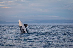 Breaching Killer Whale, photo by Daniel Bianchetta