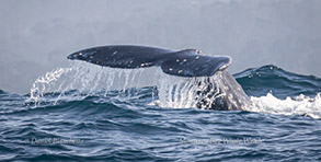 Gray Whale tail, photo by Daniel Bianchetta