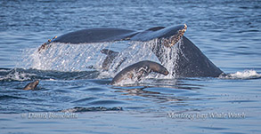 Humpback Whale tail and California Sea Lions photo by Daniel Bianchetta
